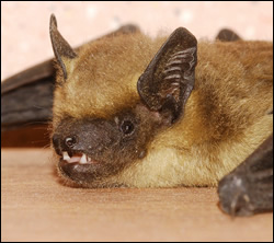 bat control Anna