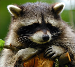 raccoon control Anna