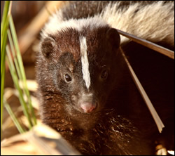 skunk control Anna